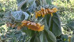 Yellow frosty sunflowers  in  garden on cold autumn morning Stock Footage