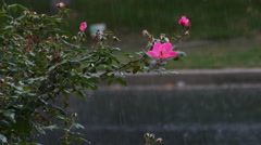 Rain Falling on Pink Rose Plant, 4K Stock Footage