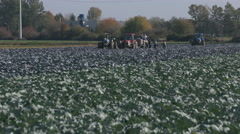 Farm Cabbage Harvest Stock Footage