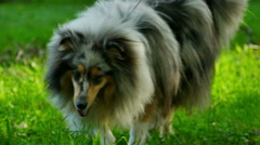 Rough Collie In Slow Motion - stock footage