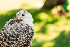 Hybrid Gyrfalcon and Saker falcon - stock photo