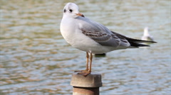 Black headed gull Stock Footage