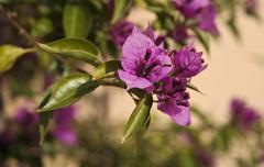 Violet bougainvillea flower Stock Photos