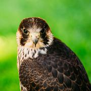 The peregrine falcon on green grass background Stock Photos