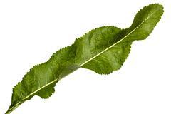 Fresh horseradish leaf (Armoracia P. Gaertn), isolated on white background - stock photo