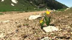 Yellow tulip flowers near the mountain road. Stock Footage