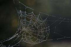 Dew laden cobweb - stock photo