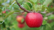 Stock Video Footage of Red apple. Shallow DOF.