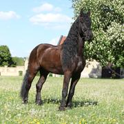 Friesian horse standing on the grass Stock Photos