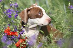 Amazing puppy of American Pit Bull Terrier in flowers Stock Photos