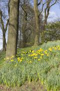 Daffodils and bare trees Stock Photos