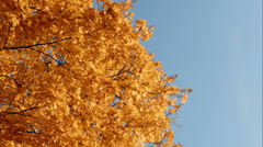 Orange yellow fall maple leafs over the blue sky Stock Footage