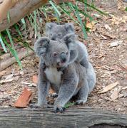Koala and baby Koala Stock Photos