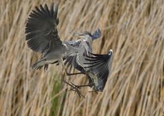 Grey herons Ardea cinerea fighting in front of reeds juvenile plumage Kiskunsag Stock Photos