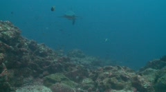 white tip shark swim by - stock footage