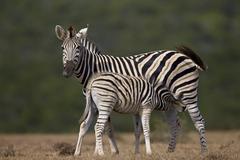 Common zebra (plains zebra) (Burchell's zebra) (Equus burchelli) mare nursing Stock Photos