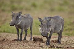 Warthog (Phacochoerus aethiopicus), Addo Elephant National Park, South Africa, - stock photo