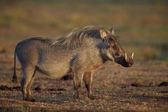 Warthog (Phacochoerus aethiopicus), Addo Elephant National Park, South Africa, - stock photo