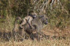 Chacma baboon (Papio ursinus) infant riding on its mother's back, Kruger Stock Photos