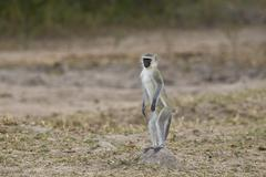 Vervet monkey (Chlorocebus aethiops) standing on its hind legs, Kruger National - stock photo