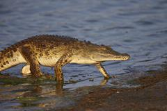 Nile crocodile (Crocodylus niloticus) exiting the water, Kruger National Park, - stock photo
