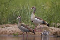 Egyptian goose (Alopochen aegyptiacus) family, Kruger National Park, South - stock photo