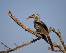 Southern red-billed hornbill (Tockus rufirostris), Kruger National Park, South Stock Photos