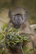 Chacma baboon (Papio ursinus), Kruger National Park, South Africa, Africa Stock Photos