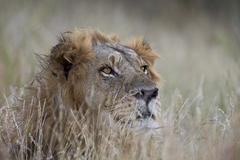 Lion (Panthera leo), Kruger National Park, South Africa, Africa Kuvituskuvat
