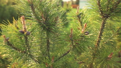 young sprout of spruce - stock footage
