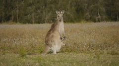 Kangaroo Joey poking head out of pouch  - stock footage