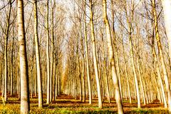 Poplar grove - stock photo