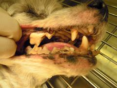 Gingivitis and periodontal disease in older dogs Stock Photos