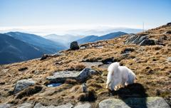 White dog and Low Tatras mountains, hiking theme - stock photo