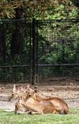 Eld's deer (Panolia eldii), animal scene Stock Photos