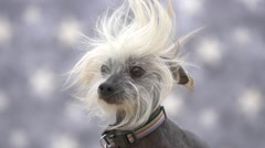 Ugly Chinese Crested hairless dog in slow motion Stock Footage