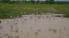 Flock of flamingos crowded together searching for food Stock Footage