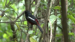 Black-and-Red Broadbill perched on branch and fly away Stock Footage
