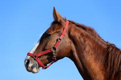 Side view head shot of a beautiful young chestnut mare - stock photo