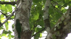 Blue-eared Barbet going into nest with fruit in mouth Stock Footage