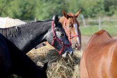 Herd of purebred horses eating hay in summer corral - stock photo