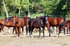 Herd of purebred brood mares eating hay in summer corral Stock Photos