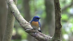 Bornean Blue Flycatcher perched on branch and fly away Stock Footage