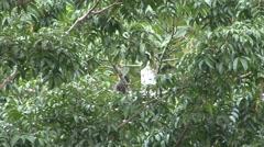 Bornean Gibbon feeding Stock Footage