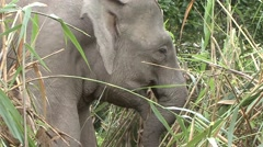 Bornean Pygmy Elephant chewing filmed from boat 2 Stock Footage