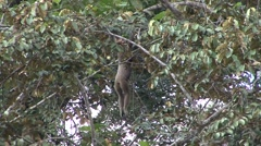 Bornean Gibbon swing in tree Stock Footage