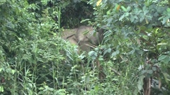Bornean Pygmy Elephant feeding by the river filmed from boat 1 Stock Footage