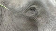 Bornean Pygmy Elephant closeup of head Stock Footage