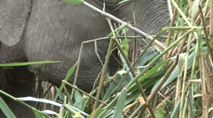 Bornean Pygmy Elephant feeding by the river filmed from boat 10 Stock Footage