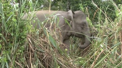Bornean Pygmy Elephant feeding by the river filmed from boat 2 Stock Footage